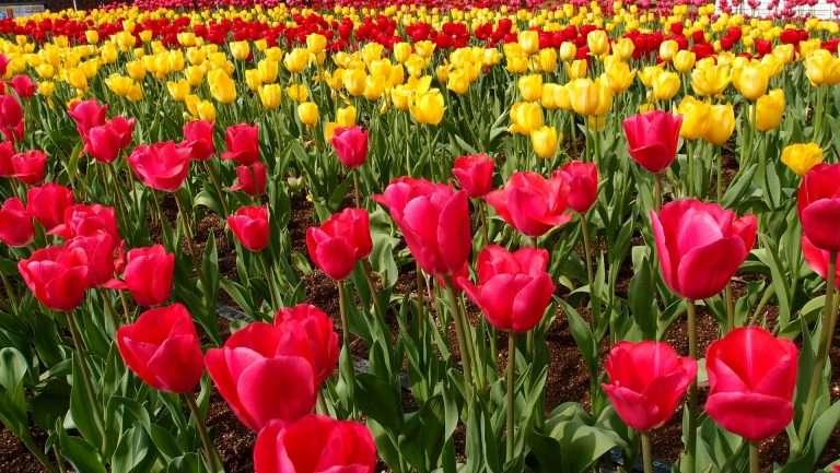 <h6>Belgium tulips</h6><p>Lorem ipsum dolor sit amet, consectetur adipiscing elit.</p>